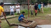 Penemuan Ular Phyton Jumbo di Ampalu Pagambiran Lubuk Begalung