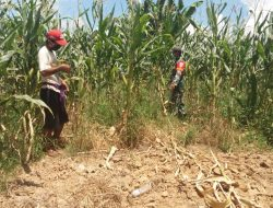 Sukseskan Ketahanan Pangan, Serda Dwi Suprap Bantu Petani Panen Jagung