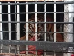 Sebelum Dilepasliarkan Kembali di Hutan Pasbar, Harimau Sipogu Mengaumi Bupati Hamsuardi